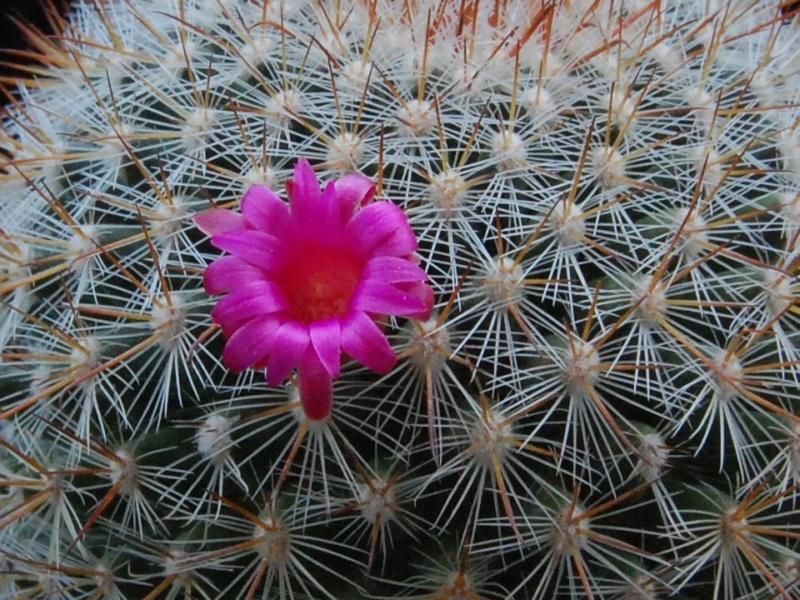 Mammillaria rekoi 6089-210