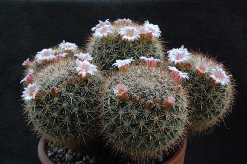 Mammillaria discolor 6143-210