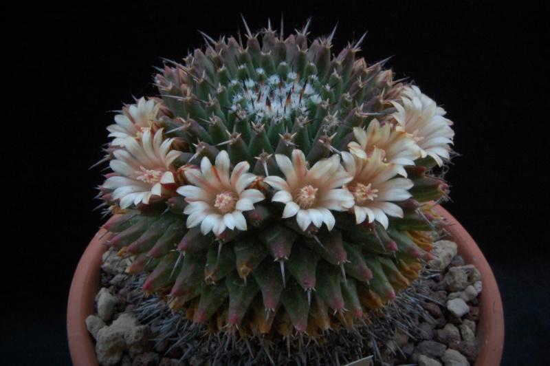 Mammillaria vagaspina 6155-210