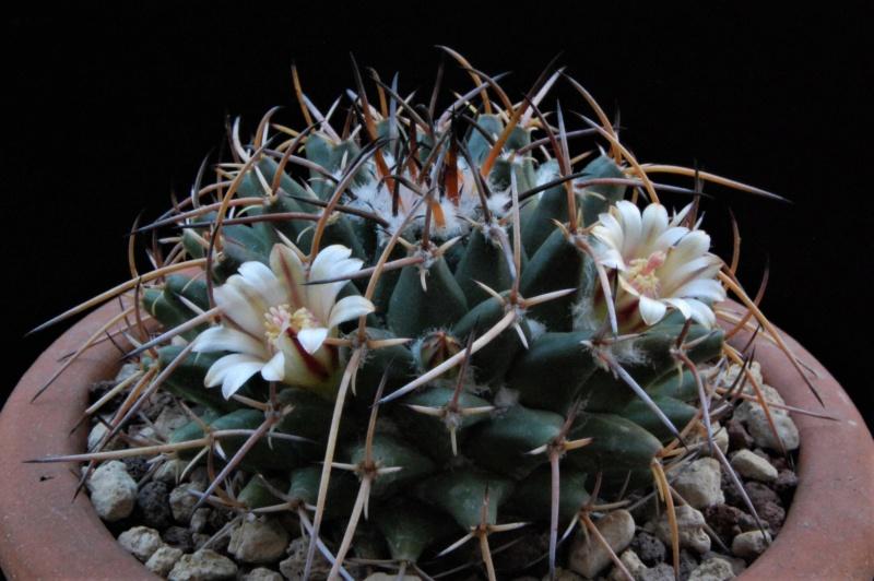 Mammillaria magnimamma 6237-211