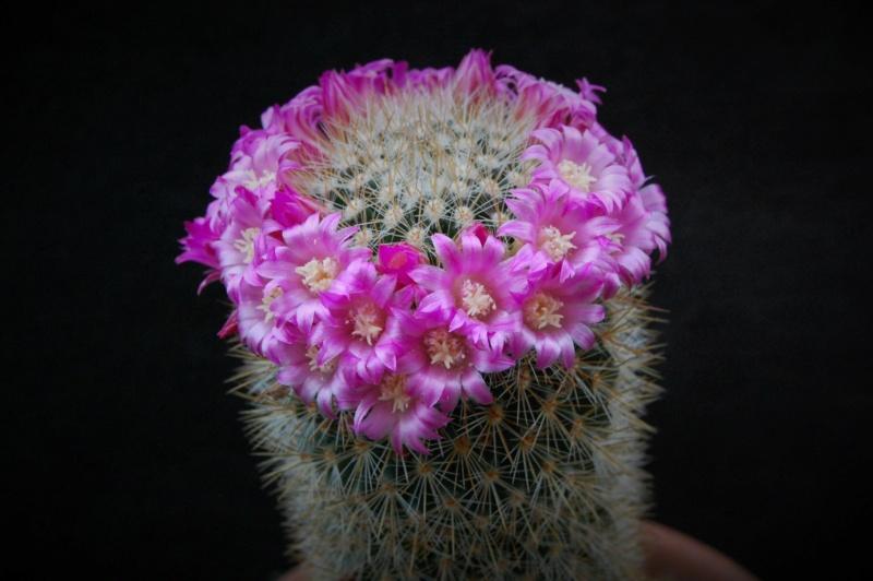 Mammillaria spinosissima 6250-211