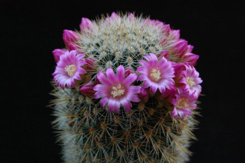 Mammillaria spinosissima 6250-212