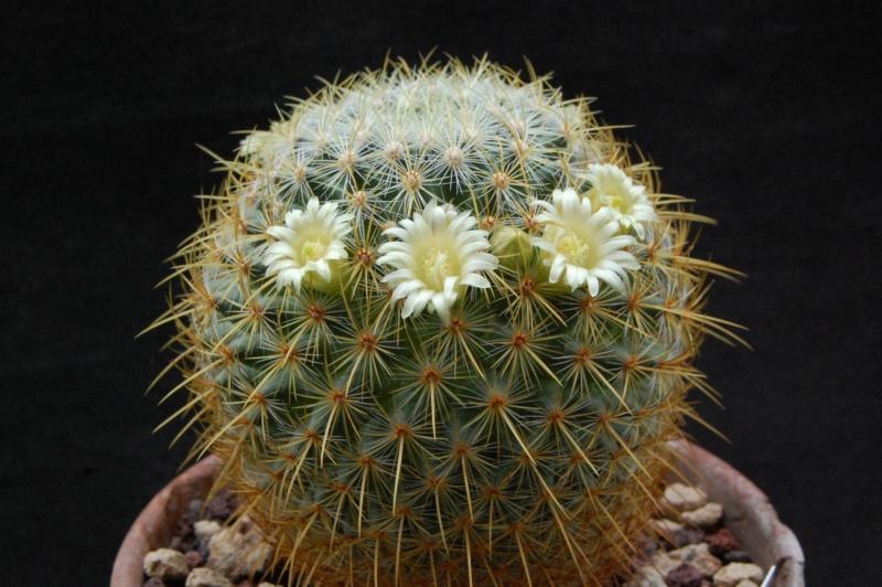 Mammillaria discolor 6271-210