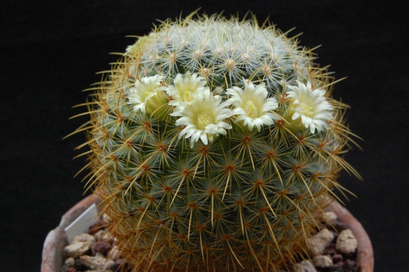 Mammillaria discolor 6271-211
