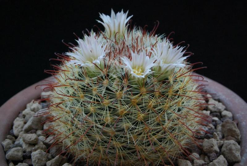 Mammillaria jaliscana 6276-211