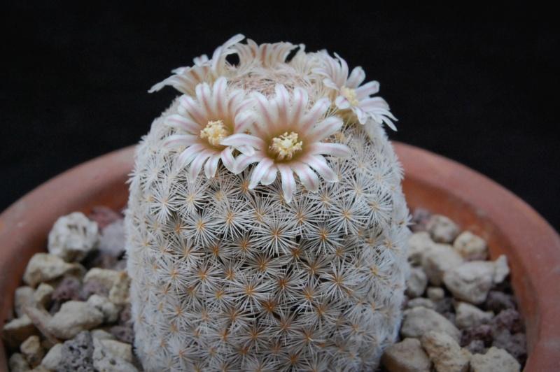 Mammillaria lasiacantha 6408-211