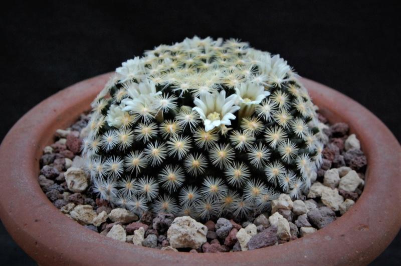 Mammillaria schiedeana 6409-210