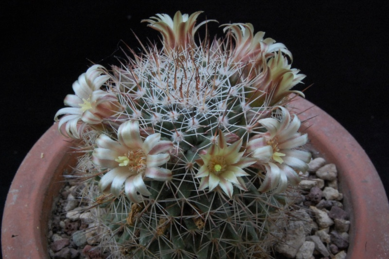 Mammillaria brandegeei 6416-210