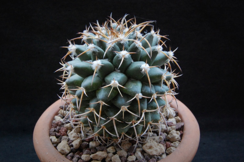 Mammillaria vagaspina 6455-210