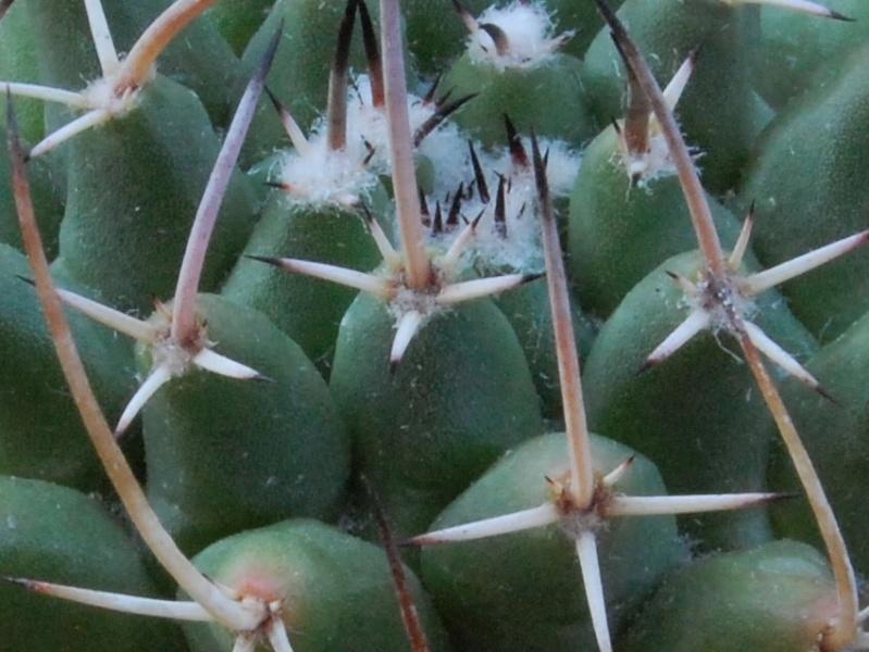 Mammillaria vagaspina 6462-210