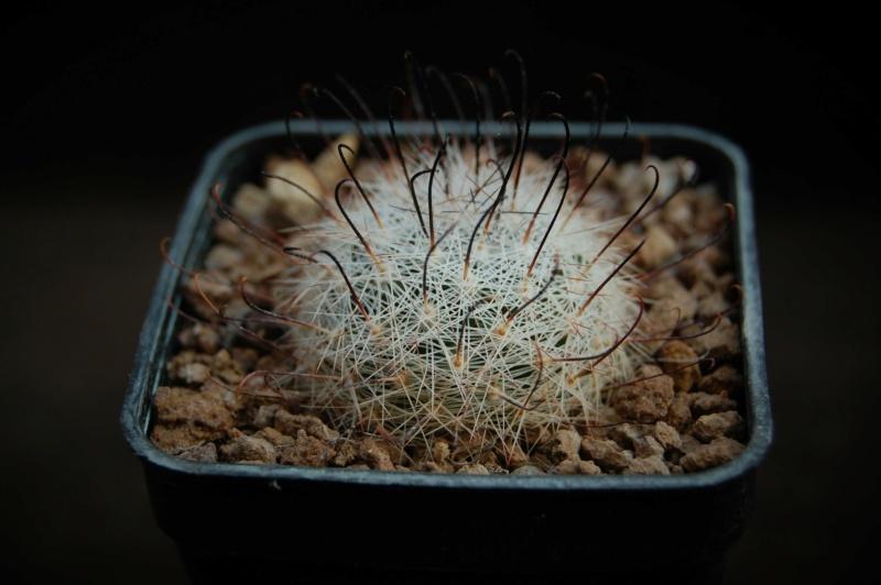 Mammillaria grahamii 6521-210