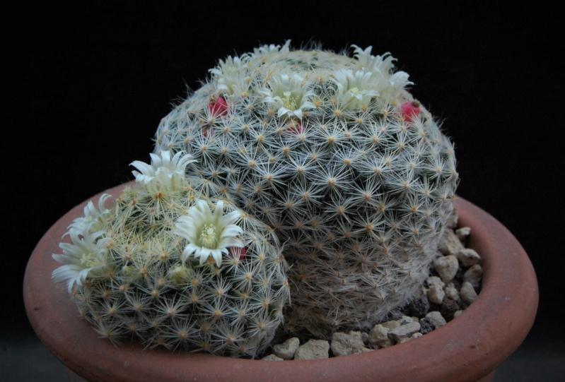 Mammillaria schiedeana 691-2010