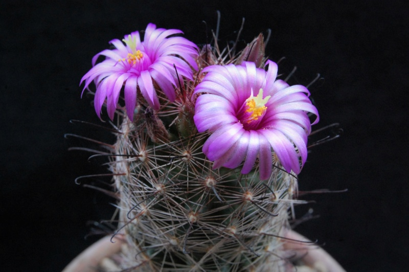 Mammillaria wrightii 7117-210