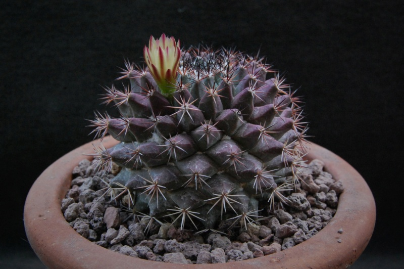 Mammillaria bocensis 7303-211