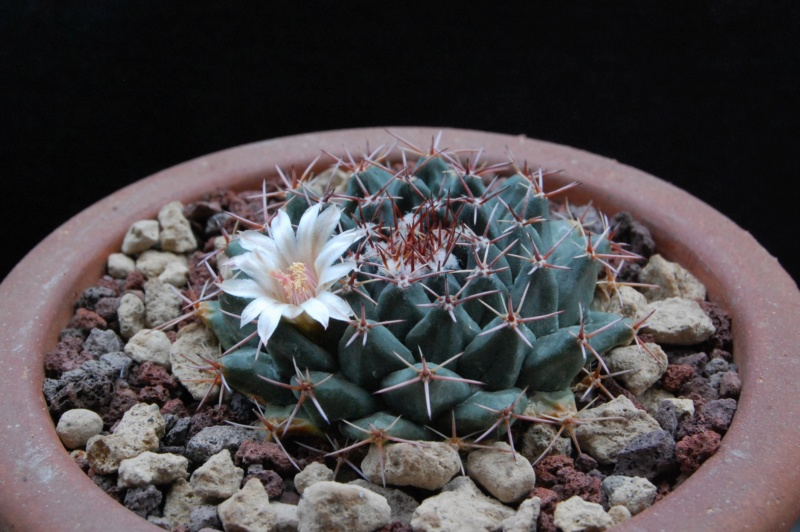 Mammillaria roseoalba 7304-210