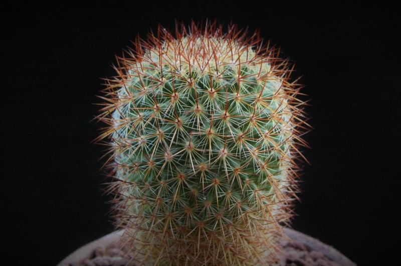 Mammillaria wiesingeri 7353-210