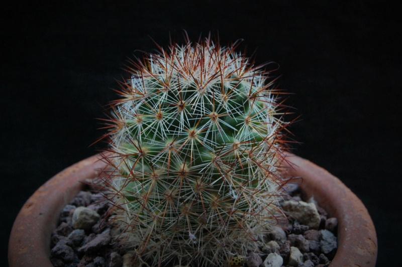 Mammillaria centraliplumosa 7359-210