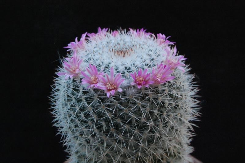 Mammillaria albata 7360-210