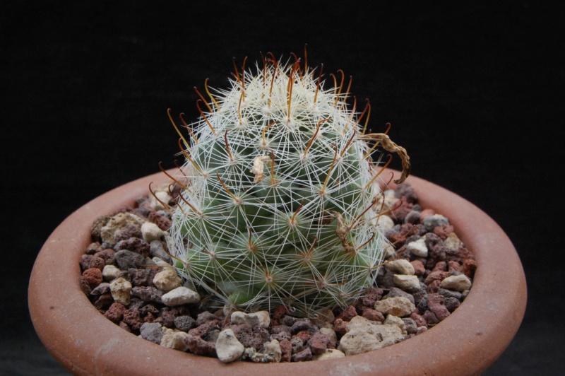 Mammillaria boolii 7369-210