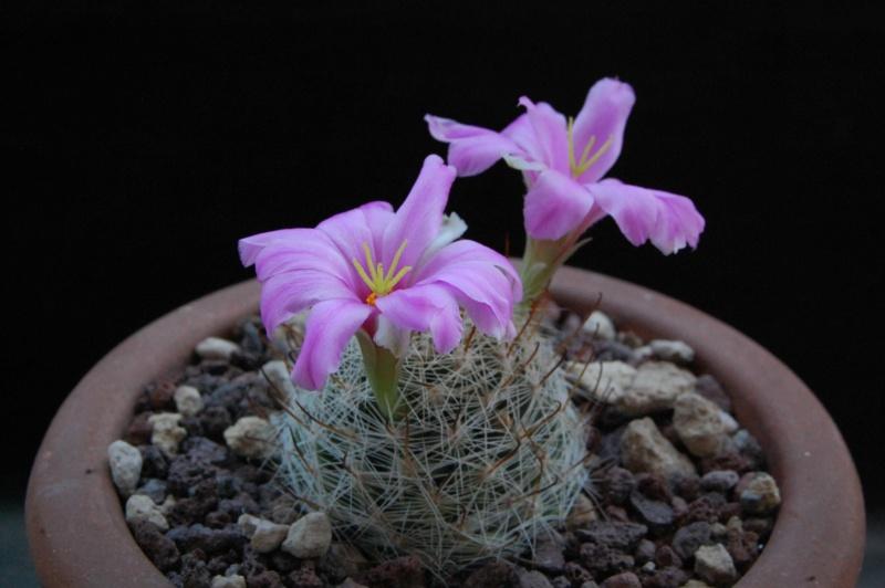 Mammillaria boolii 7369-211