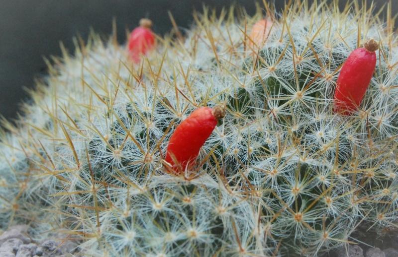 Mammillaria multiceps 7372-211