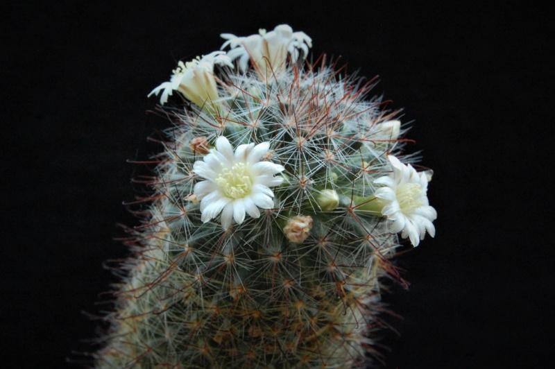Mammillaria gilensis 7382-210