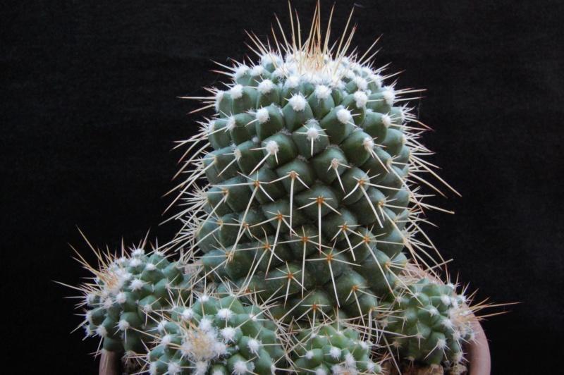Mammillaria compressa 7408-210