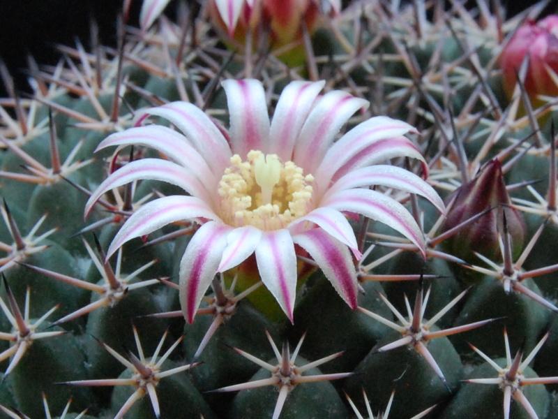 Mammillaria heyderi 7412-212