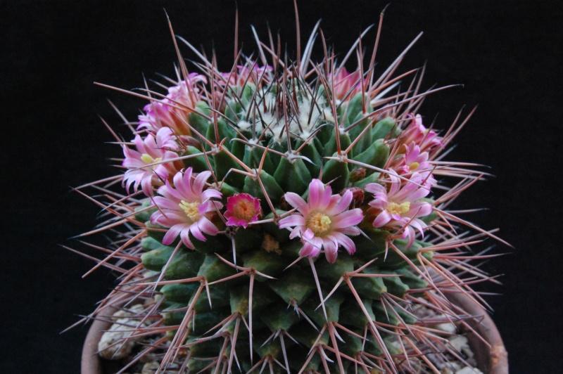 Mammillaria carnea 7414-210
