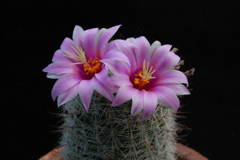 Mammillaria grahamii 7466-211