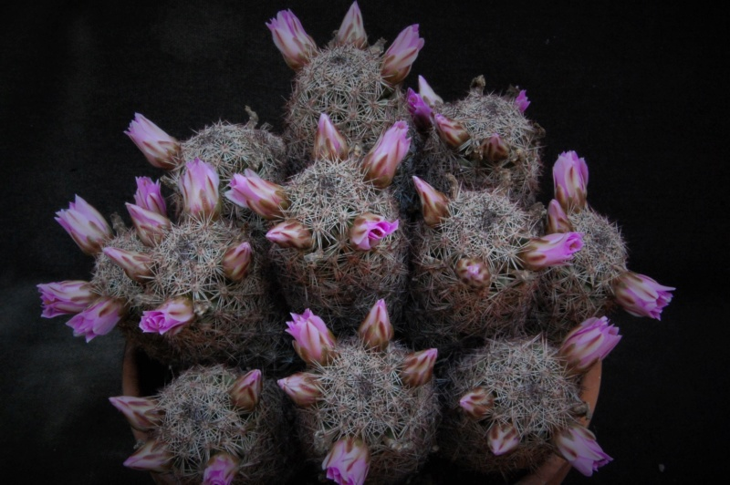 Mammillaria alamensis 7471-213