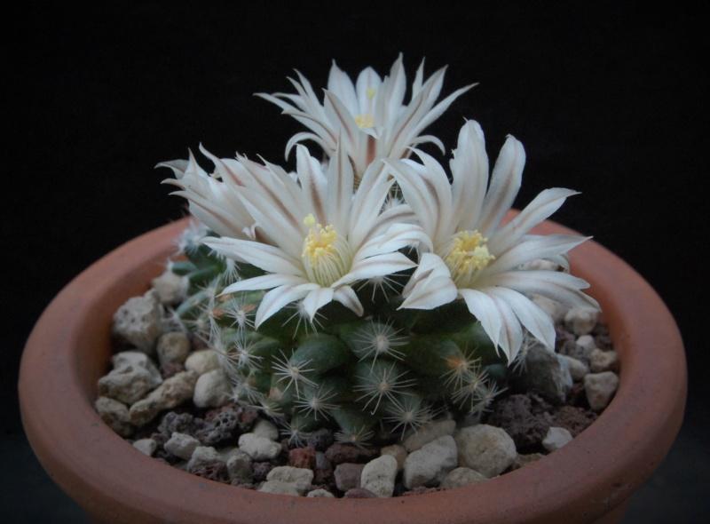 Mammillaria coahuilensis 7512-210