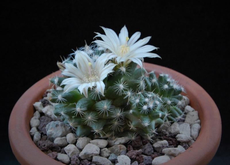 Mammillaria coahuilensis 7512-211