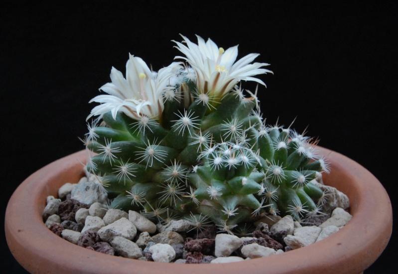 Mammillaria coahuilensis 7512-212