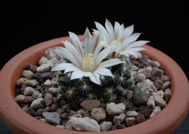 Mammillaria coahuilensis 7512-213