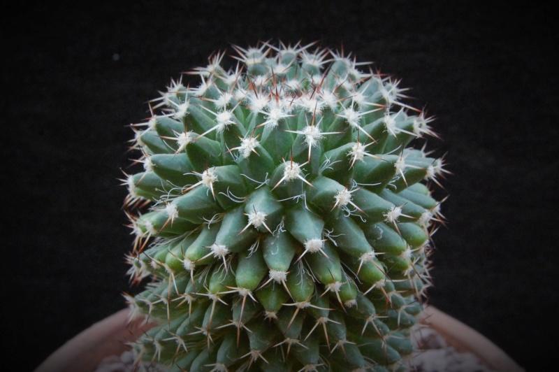 Mammillaria confusa 7514-210