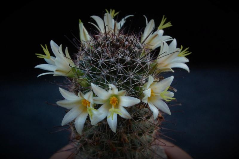 Mammillaria dioica 7516-210
