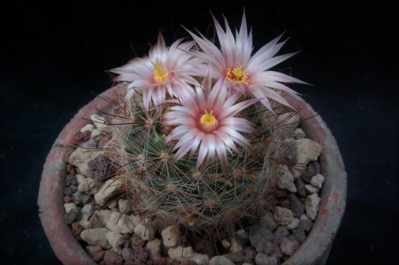 Mammillaria barbata 7529-210