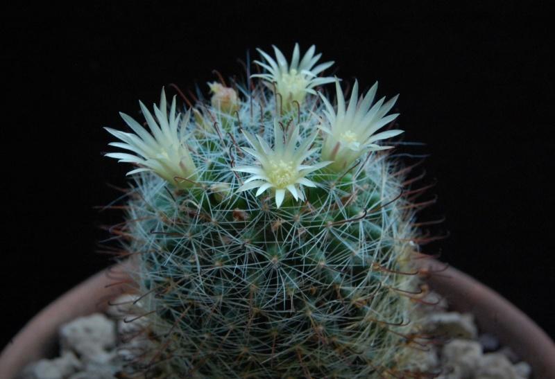 Mammillaria moeller-valdeziana 8004-210