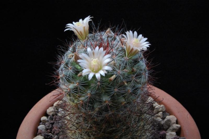 Mammillaria gilensis 8035-210
