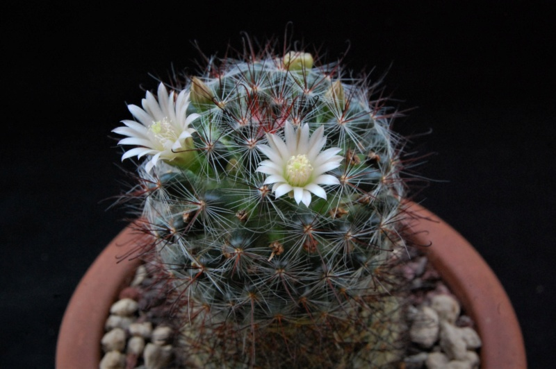 Mammillaria gilensis 8035-211
