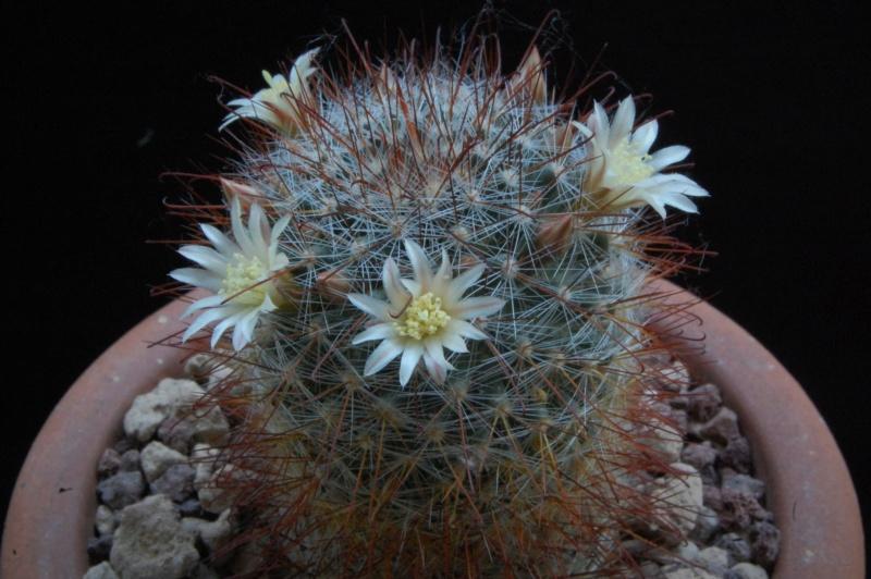 Mammillaria gilensis 8041-211