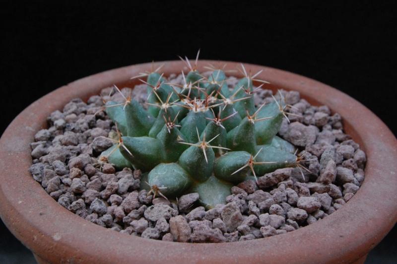 Mammillaria roseoalba 8053-210