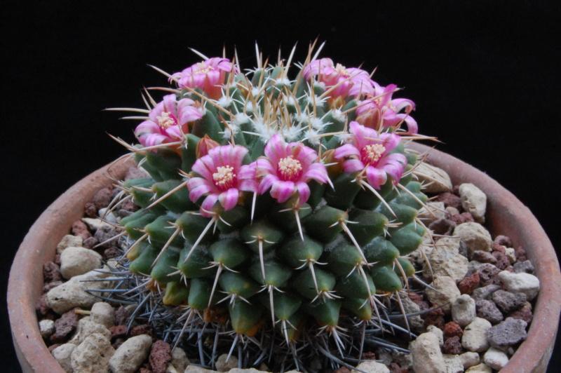 Mammillaria compressa 8076-211