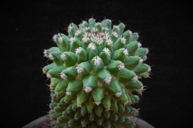 Mammillaria confusa 8083-210