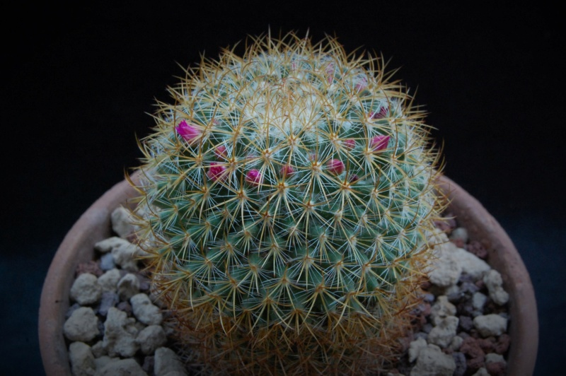 Mammillaria rhodantha 8089-210
