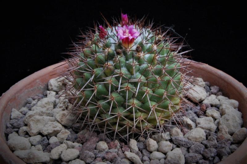 Mammillaria xochipilli 8096-210
