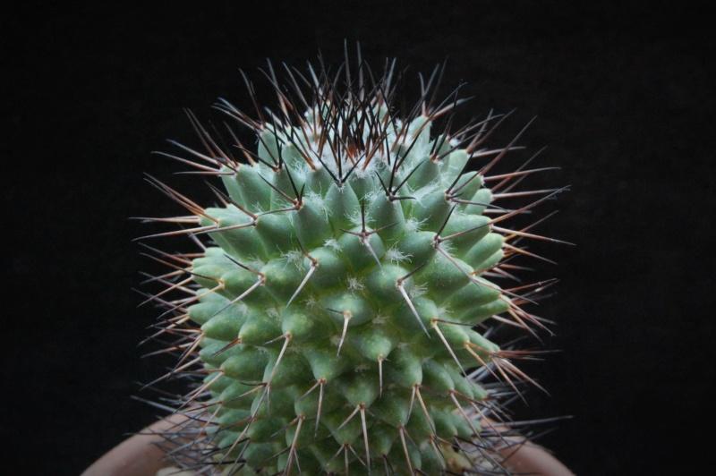 Mammillaria polythele 8110-210