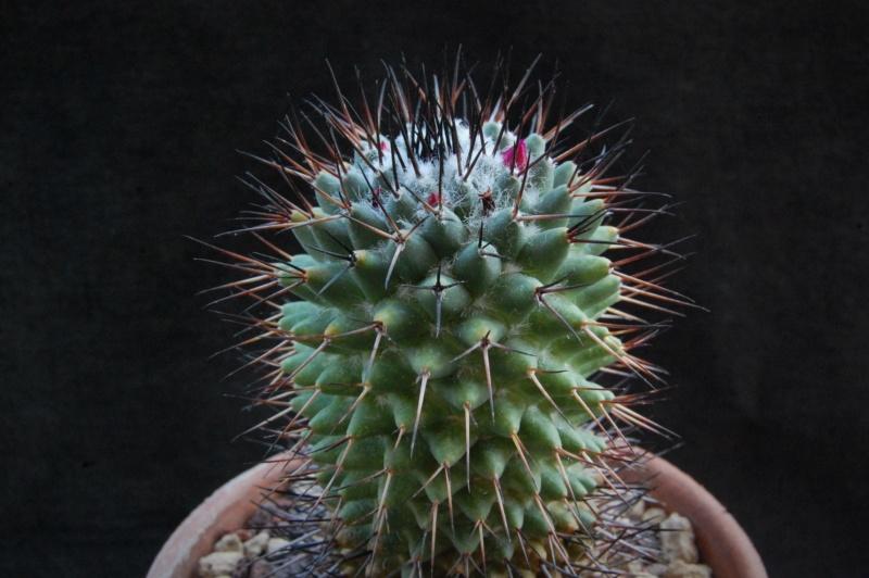 Mammillaria polythele 8110-211