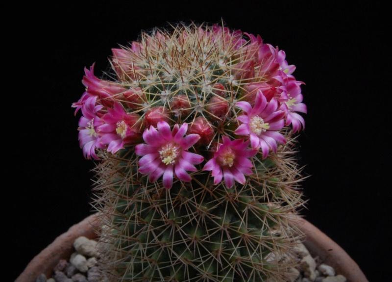 Mammillaria backebergiana 8128-211